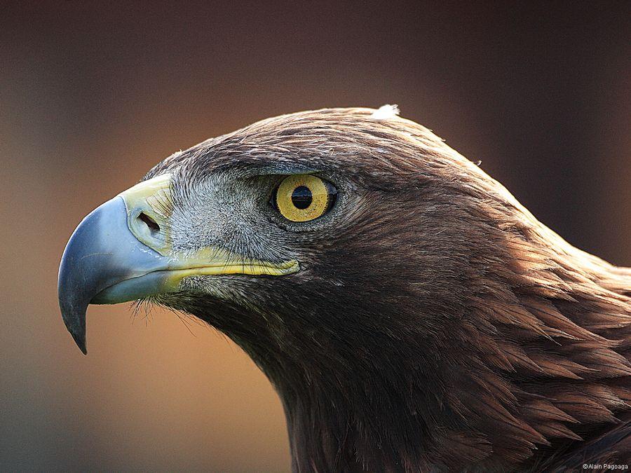 Aigle royal (photo : Alain Pagoaga)